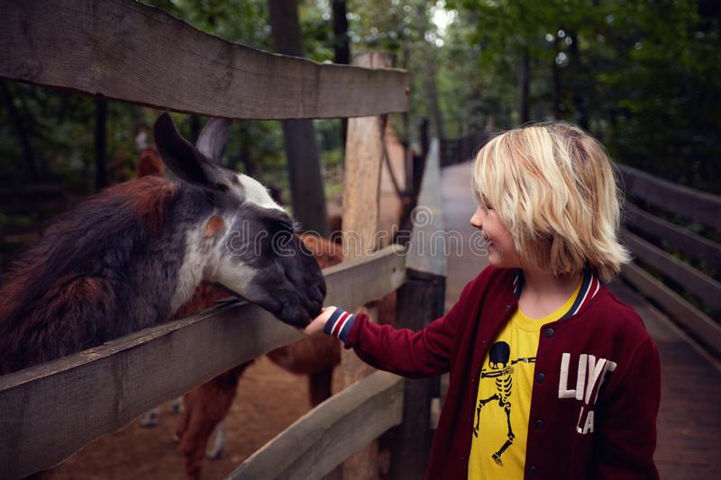 Astonished happy young boy feeds lama from hands at the animal farm, zoo stock photo