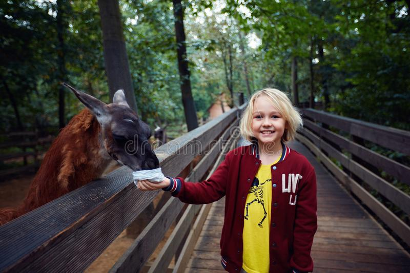 Astonished happy young boy feeds lama from hands at the animal farm, zoo royalty free stock image