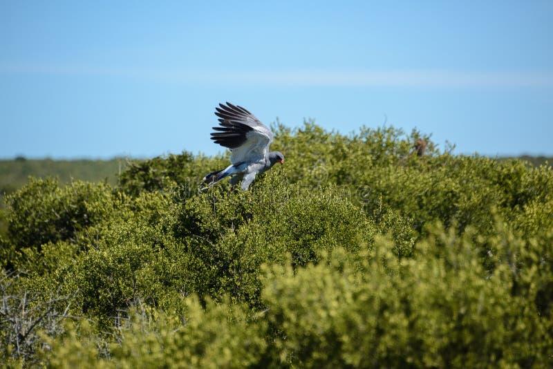 Astore pallido Chanting, Sudafrica fotografia stock