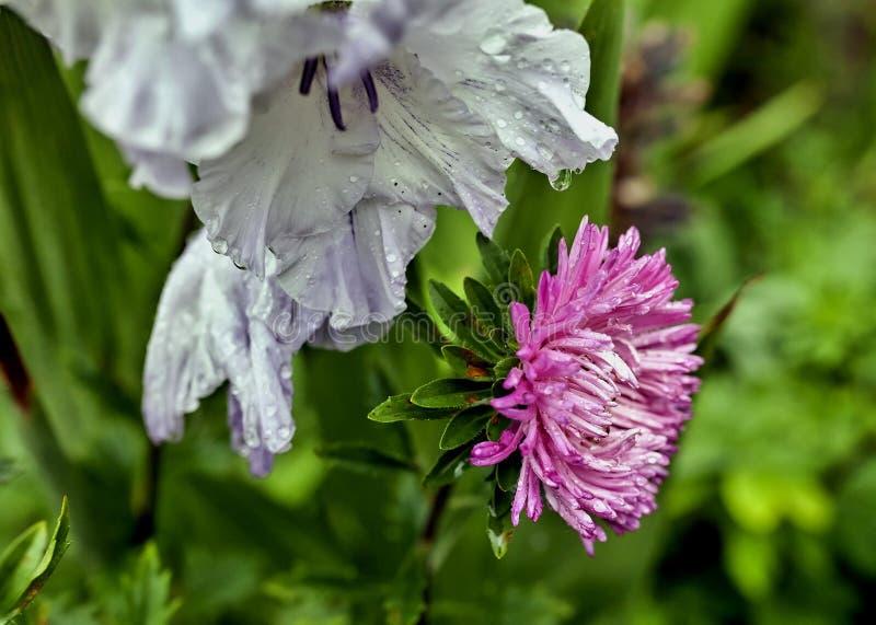 Astra en gladiolen met regendruppels stock fotografie
