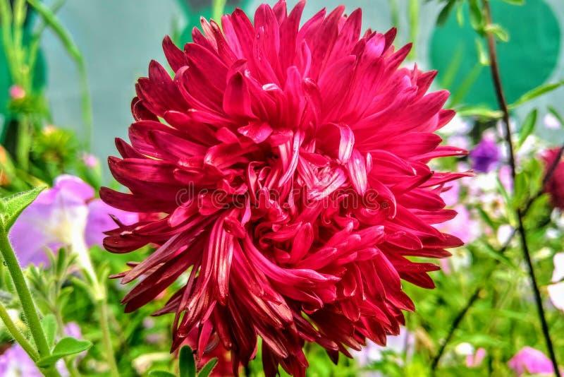 Astra es un género de las plantas herbáceas de la familia de Astro, o del Compositae, incluyendo más de doscientas especies exten fotografía de archivo