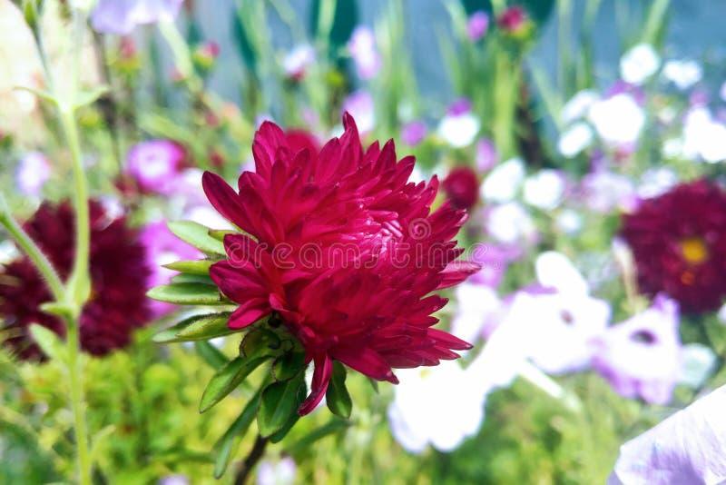 Astra jest genus zielne rośliny Astro rodzina lub Compositae, wliczając więcej niż dwieście gatunków szeroko zdjęcia stock