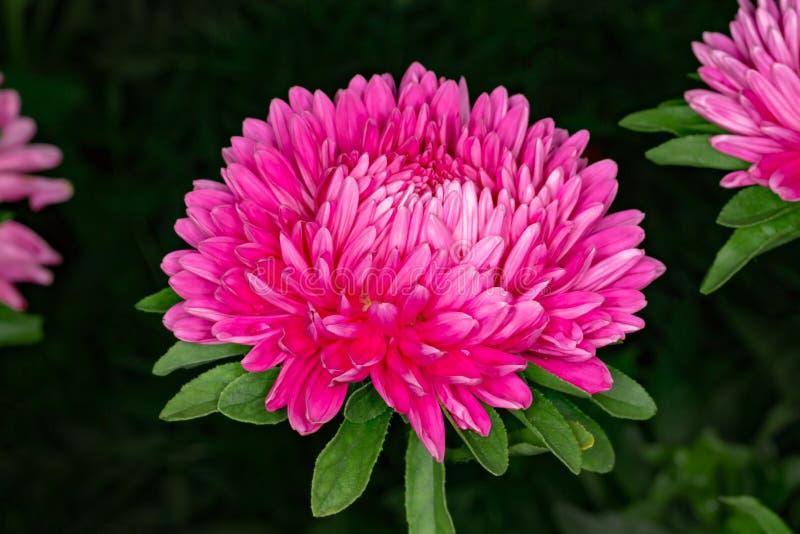Astra op een bloembed op een donkere achtergrond royalty-vrije stock foto