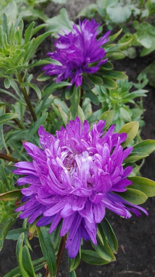 Astra Purple photos stock