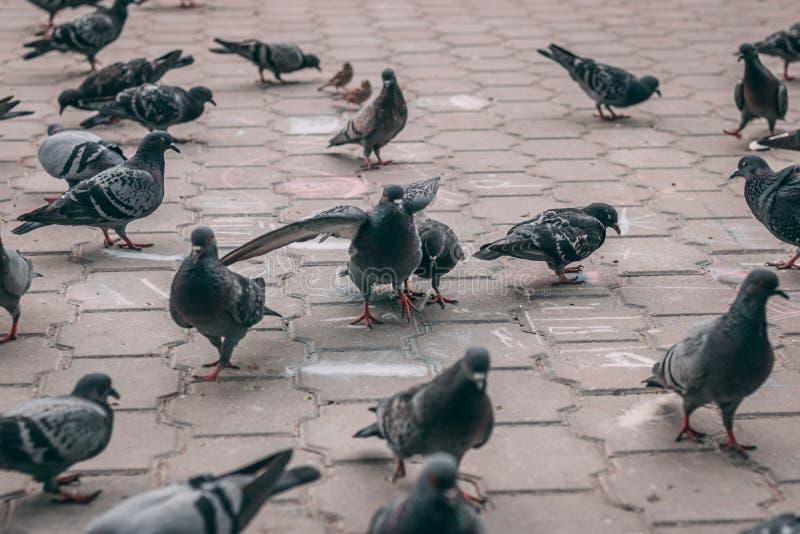 Astrachan', Russia - 6 giugno 2019: Uccelli urbani nel parco I piccioni mangiano l'alimentazione I disegni dei bambini su asfalto immagine stock
