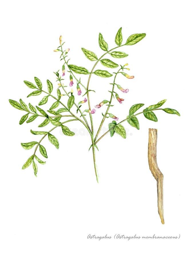 Astragale (membranaceus d'astragale) photographie stock libre de droits