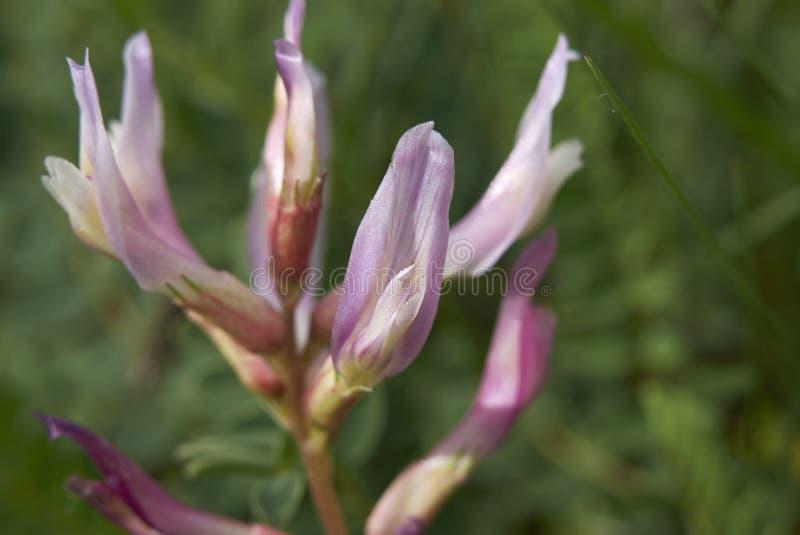 Astragalu monspessulanus purpur kwiatostan fotografia stock