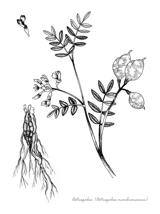 Astragalus royalty-vrije illustratie