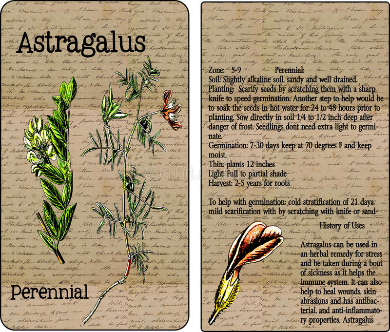 Astragalus Vintage Seed Packet royalty free stock photo