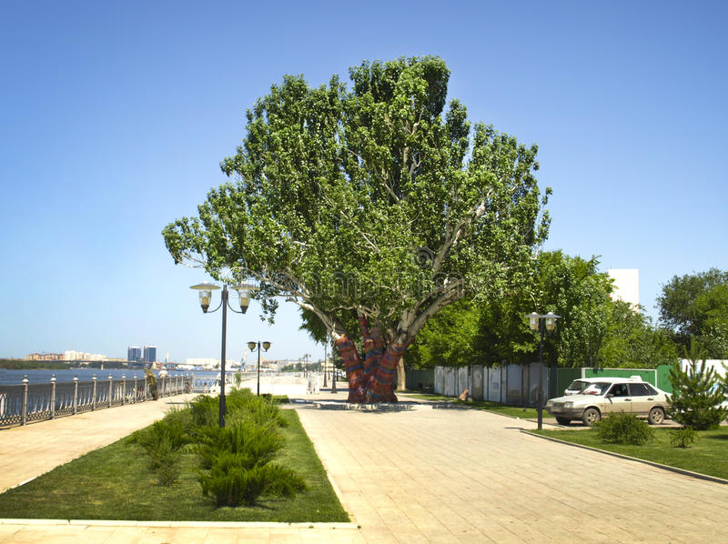 Astrakhan. Russia. Large and old tree poplar on the embankment of the city of Astrakhan stock photography