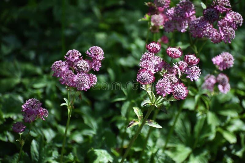 Astrantia花主要在庭院里 库存图片