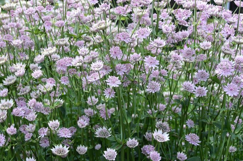 Astrantia het belangrijke grote groep bloeien royalty-vrije stock afbeelding