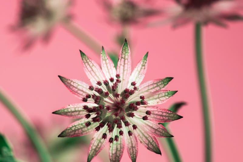 Astrantia kwiat, jeden kwitnący koronowy na różowym tle zdjęcia stock