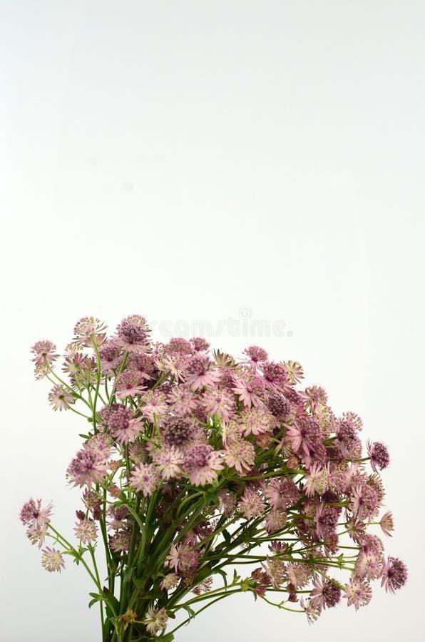 Astrantiabloem op witte achtergrond stock afbeeldingen