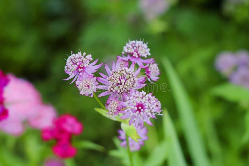 Astrantiamajoor in tuin stock afbeeldingen