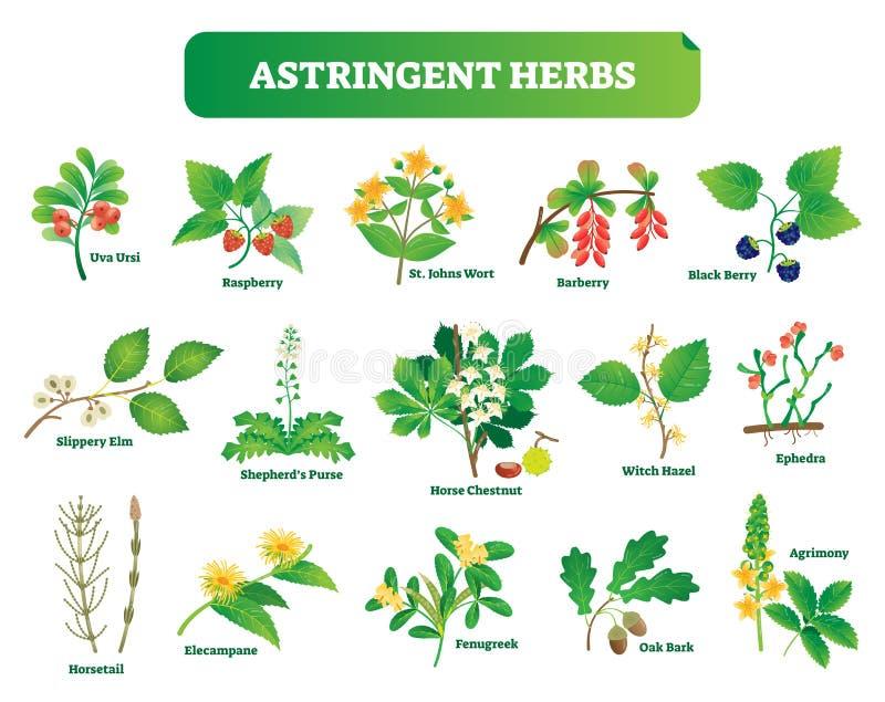 Astringent herbs vector illustration collection. Natural homeopathy wild plants botanic set. royalty free illustration