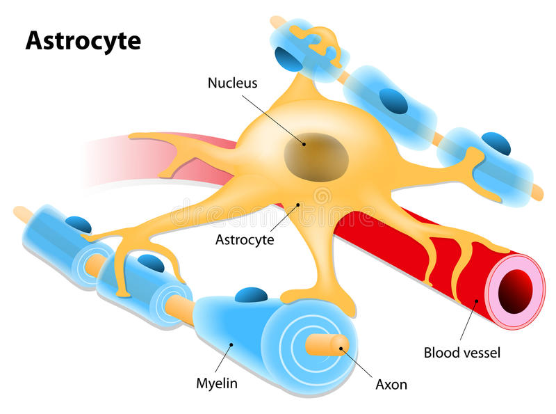 Astrocyte royaltyfri illustrationer