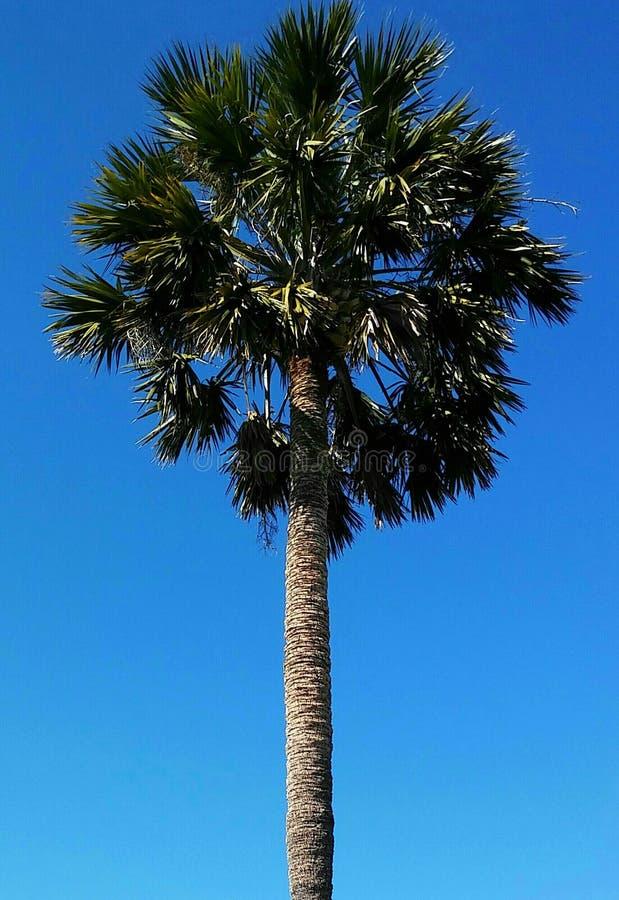 Astronomiczny drzewko palmowe zdjęcie royalty free
