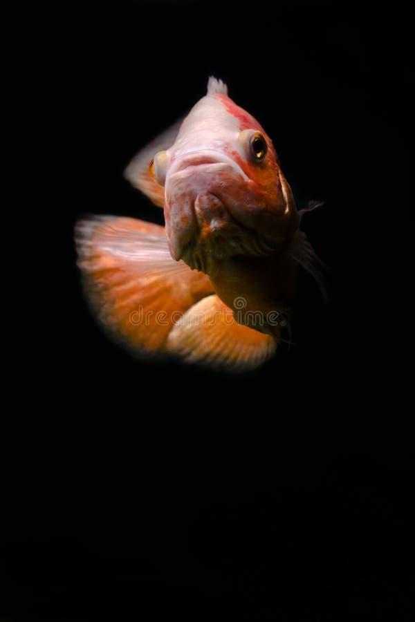 Astronotus奥斯卡鱼 库存图片