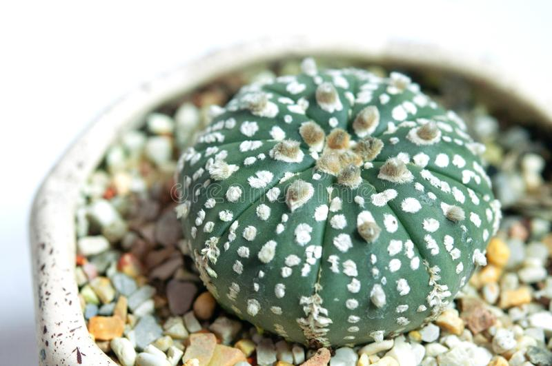 Astrophytum cactus in ceramic pot, isolated on a white background, Closeup side view stock images