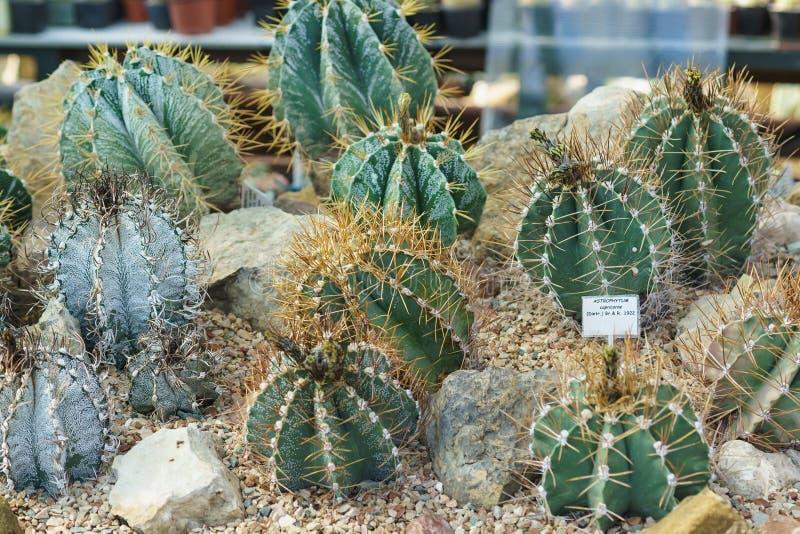 Astrophytum, of de Stercactus, zijn een soort van sferische of cilindrische lage succulents van de Cactusfamilie, gemeenschappeli royalty-vrije stock foto's