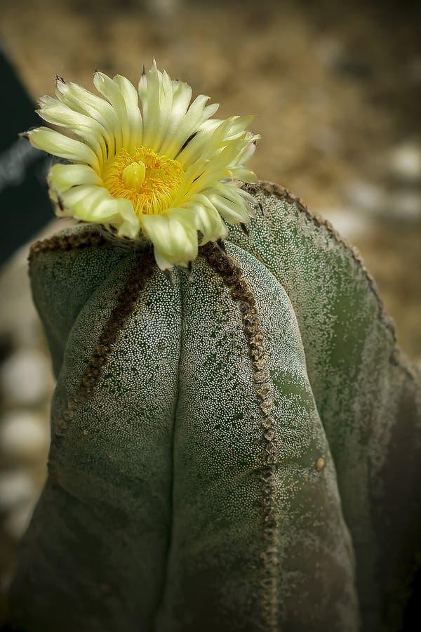 Astrophytum myriostigma是仙人掌的种类 免版税库存图片
