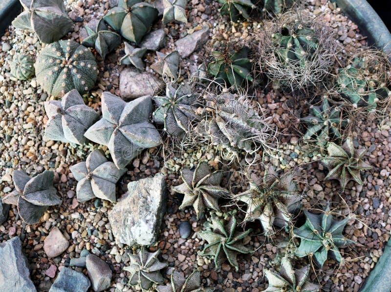 Astrophytum of Stercactus royalty-vrije stock afbeeldingen