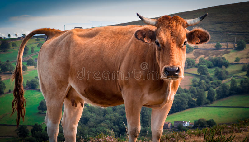 Asturias cow III stock photo