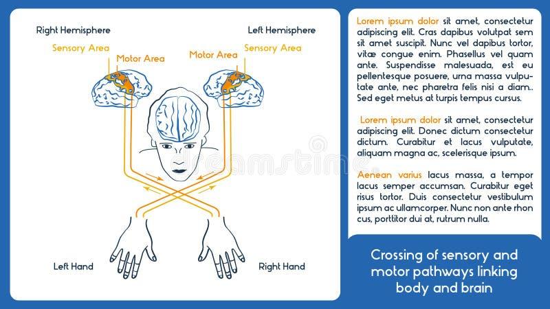 Asymétrie biologique Plan de vecteur Corps et cerveau illustration libre de droits