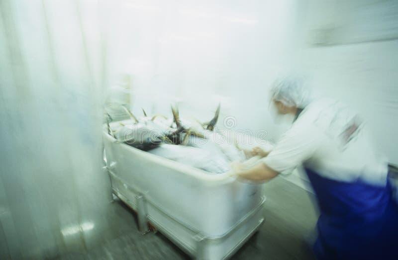 Atún de trucha salmonada que es procesado para los mojones Australia de la exportación fotografía de archivo libre de regalías
