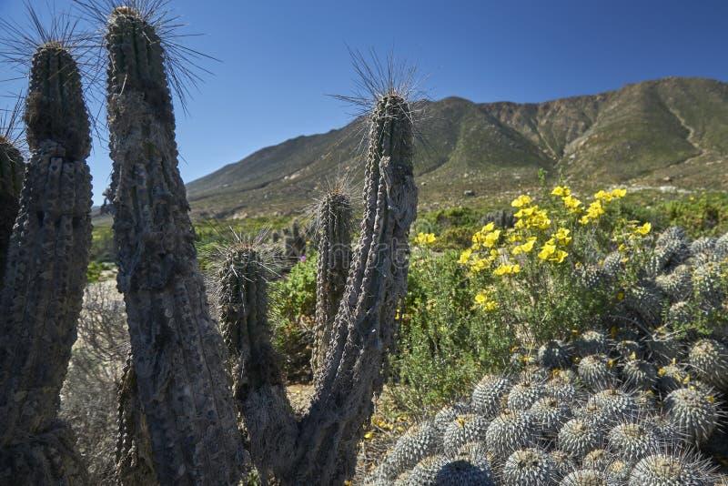 15-08-2017 Atacama Desert, Chile. Flowering Desert 2017. 15-08-2017 Atacama Desert, Chile. Landscapes of the Flowering Desert. Flowers and colors conform this royalty free stock image