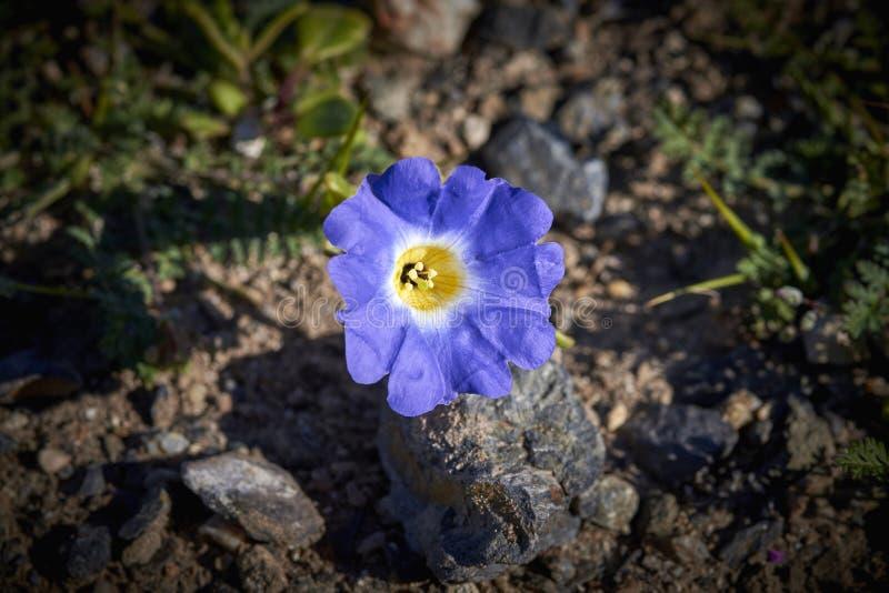 15-08-2017 Atacama Desert, Chile. Flowering Desert 2017. 15-08-2017 Atacama Desert, Chile. Landscapes of the Flowering Desert. Flowers and colors conform this stock images