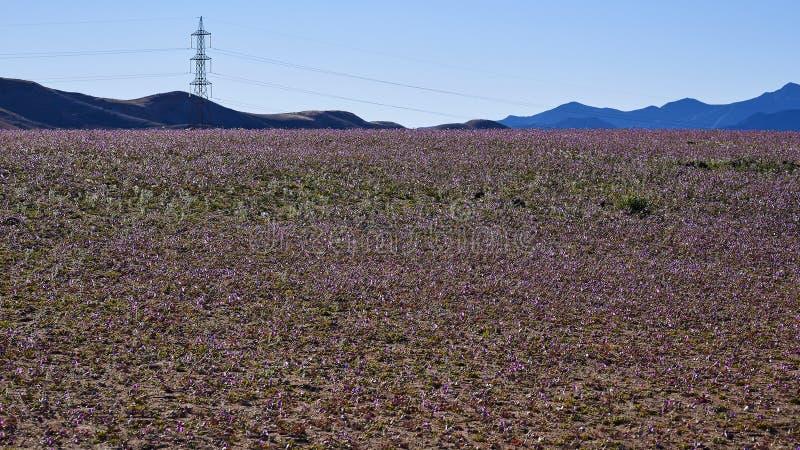 15-08-2017 Atacama Desert, Chile. Flowering Desert 2017. 15-08-2017 Atacama Desert, Chile. Landscapes of the Flowering Desert. Flowers and colors conform this stock image