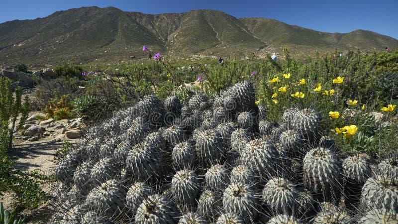 15-08-2017 Atacama Desert, Chile. Flowering Desert 2017 stock photos