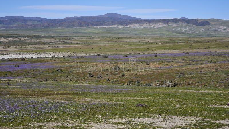 15-08-2017 Atacama Desert, Chile. Flowering Desert 2017. 15-08-2017 Atacama Desert, Chile. Landscapes of the Flowering Desert. Flowers and colors conform this royalty free stock photography
