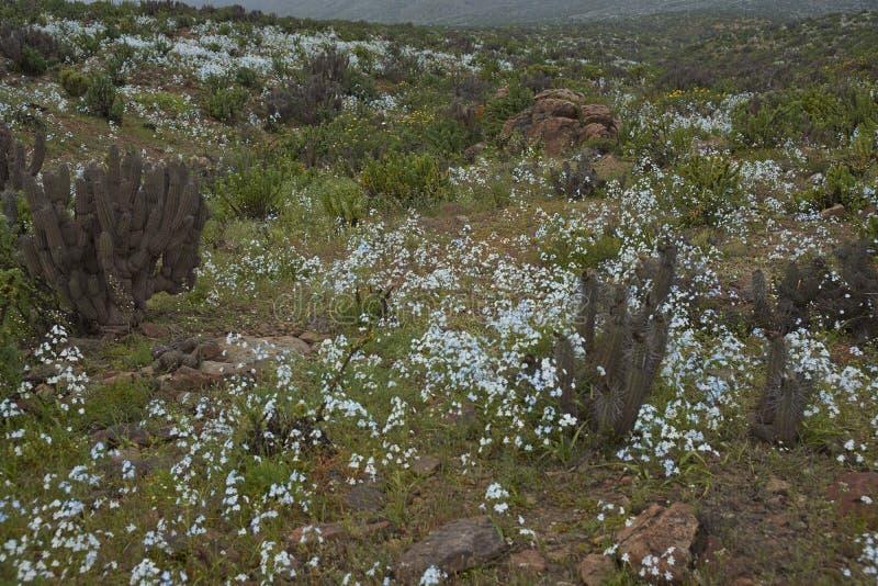 Atacama pustynia w kwiacie zdjęcie stock