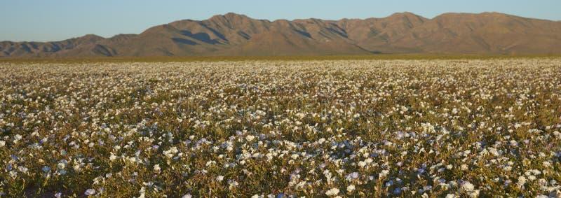 Atacama pustynia w kwiacie zdjęcie royalty free
