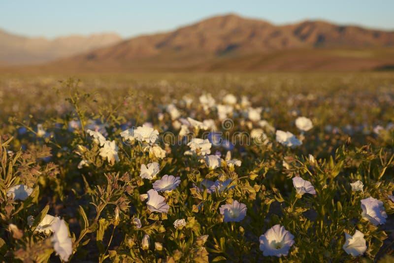 Atacama pustynia w kwiacie fotografia royalty free
