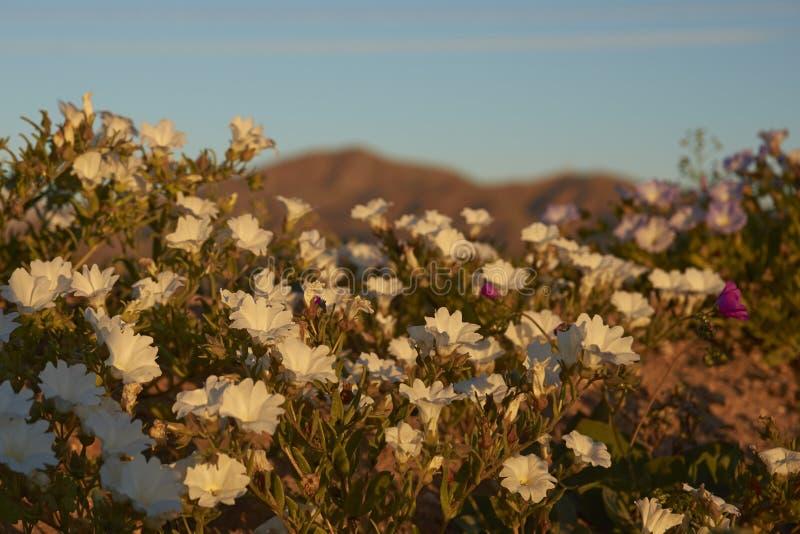 Atacama pustynia w kwiacie fotografia stock