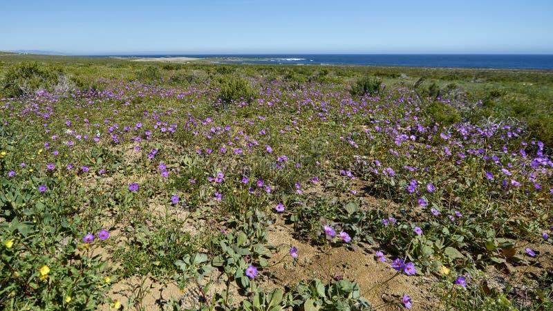 15-08-2017 Atacama-Woestijn, Chili Bloeiende Woestijn 2017 royalty-vrije stock afbeelding