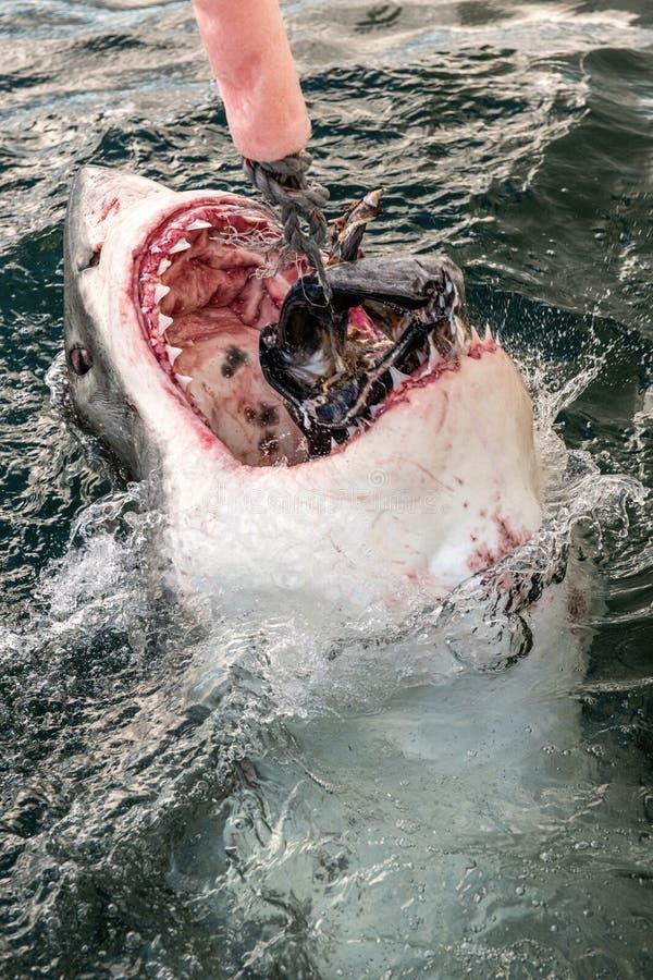 Atacando Grande Tubarão Branco foto de stock