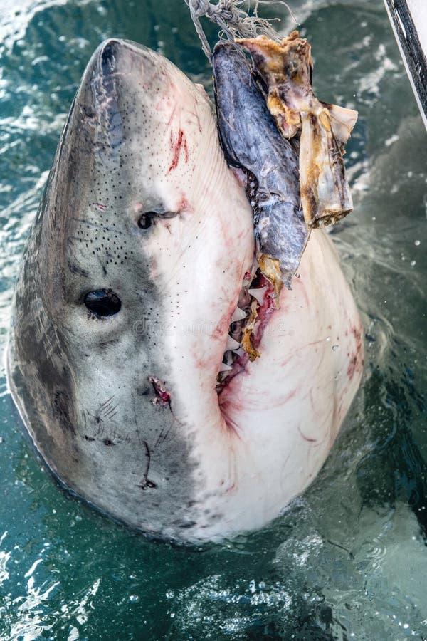 Atacando Grande Tubarão Branco fotografia de stock royalty free