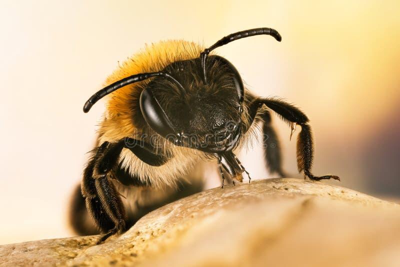 ?ataj?ca G?rnicza pszczo?a, G?rnicza pszczo?a, pszczolinki nitida obraz stock