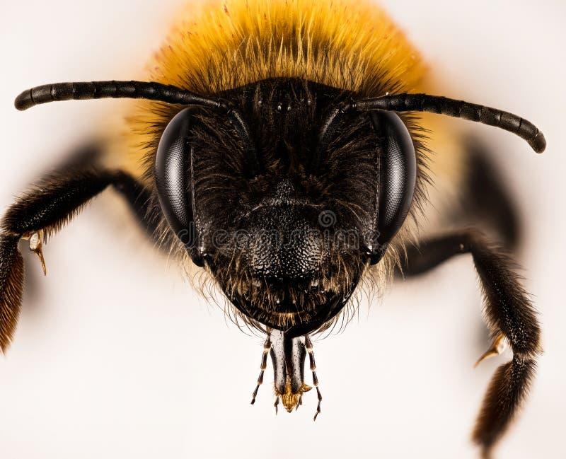 ?ataj?ca G?rnicza pszczo?a, G?rnicza pszczo?a, pszczolinki nitida obraz royalty free