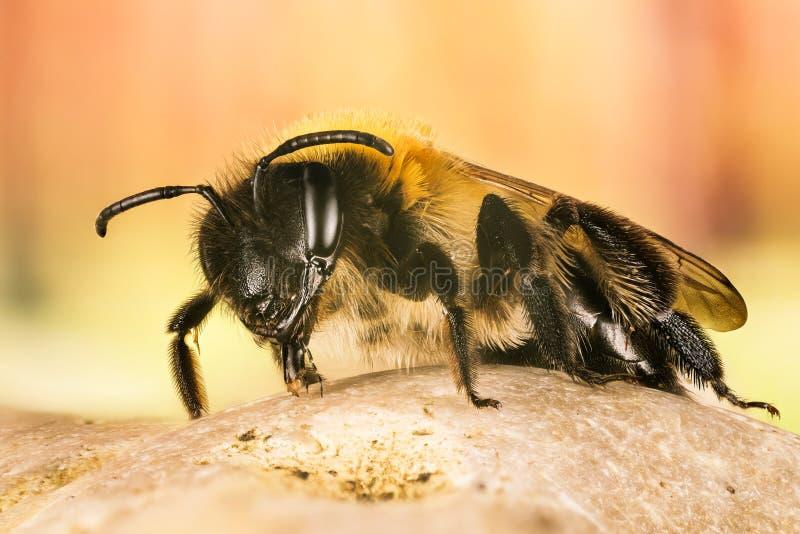 ?ataj?ca G?rnicza pszczo?a, G?rnicza pszczo?a, pszczolinki nitida zdjęcia stock