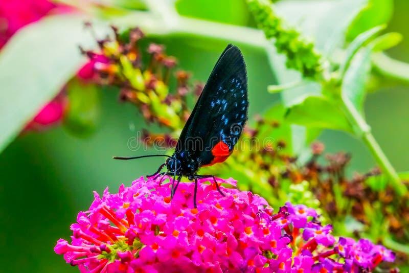 Atala motyla menchii kwiaty Pije nektar zdjęcie stock