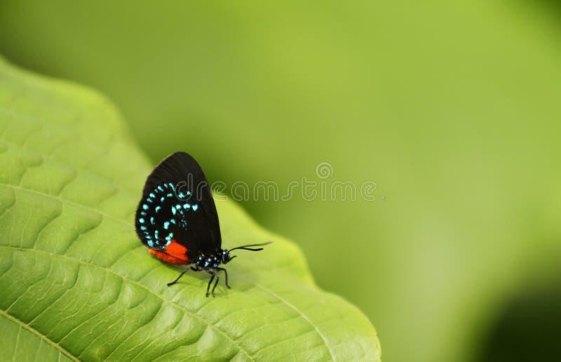 Atala Motyli odpoczywać na zielonym liściu. zdjęcie royalty free