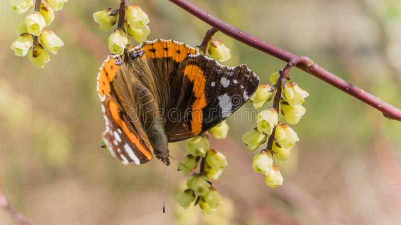Atalanta butterfly on a blooming twig. Spring in Arboretum het Leen, Eeklo, Belgium royalty free stock photography