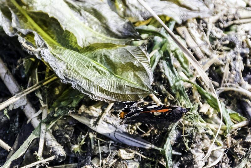 Atalanta de Vanesa, el almirante rojo o previamente, la mariposa admirable roja fotografía de archivo libre de regalías