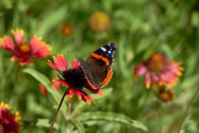 Atalanta della vanessa della farfalla di ammiraglio rosso appollaiato su un fiore generale di Gaillardia di Fireweel Indina fotografie stock libere da diritti